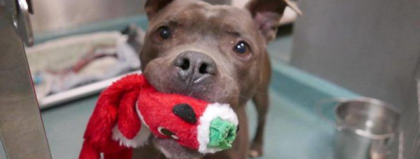 Betrayed Again Dog Holding His Toy At Nyc Shelter Slated To Die Today Animal Rescue Dogs Your Pet