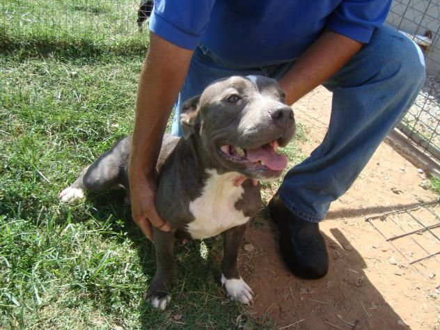 Adopt Bonnie Pocket Pitty On Pet Adoption Terrier Mix Dogs Animals