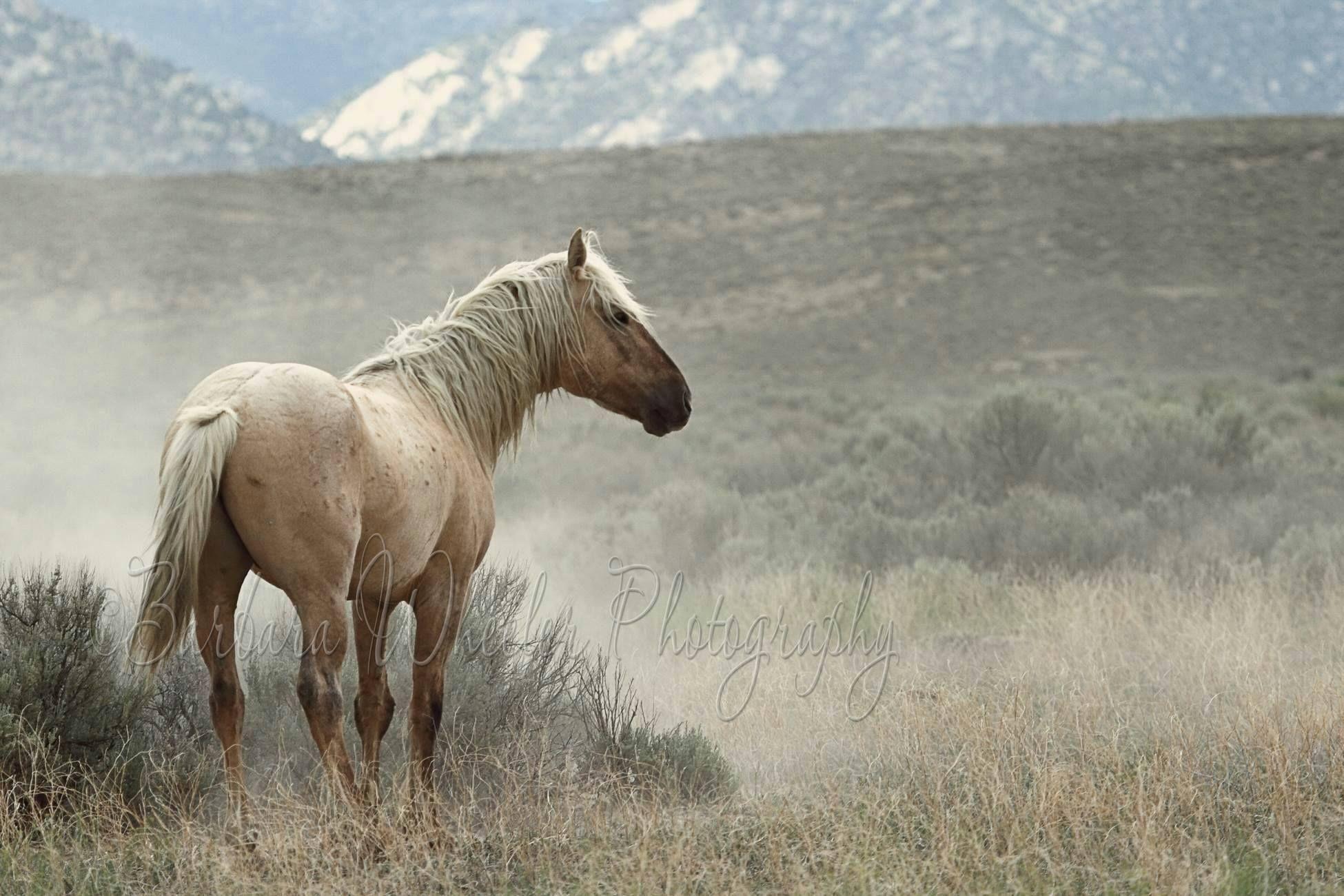 Wild Palomino Mustang Stallion. Nice El. Multi Color