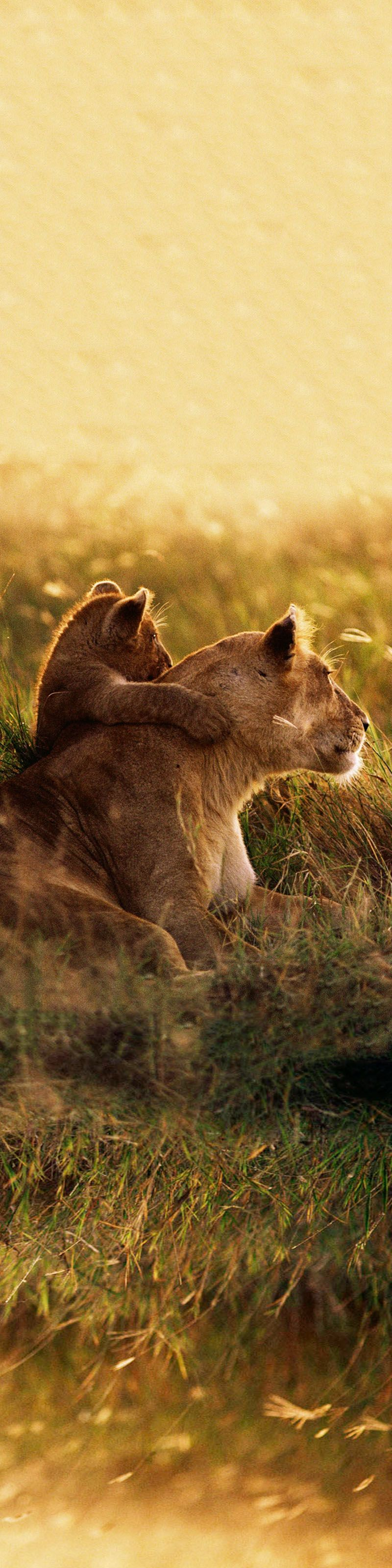 Volunteer with Via Volunteers in South Africa and check out our gorgeous babies in the wild! Lion