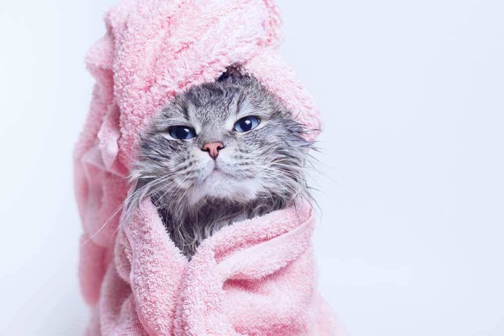 How To Bathe A Kitten In 2020 Tabby Kitten Cats