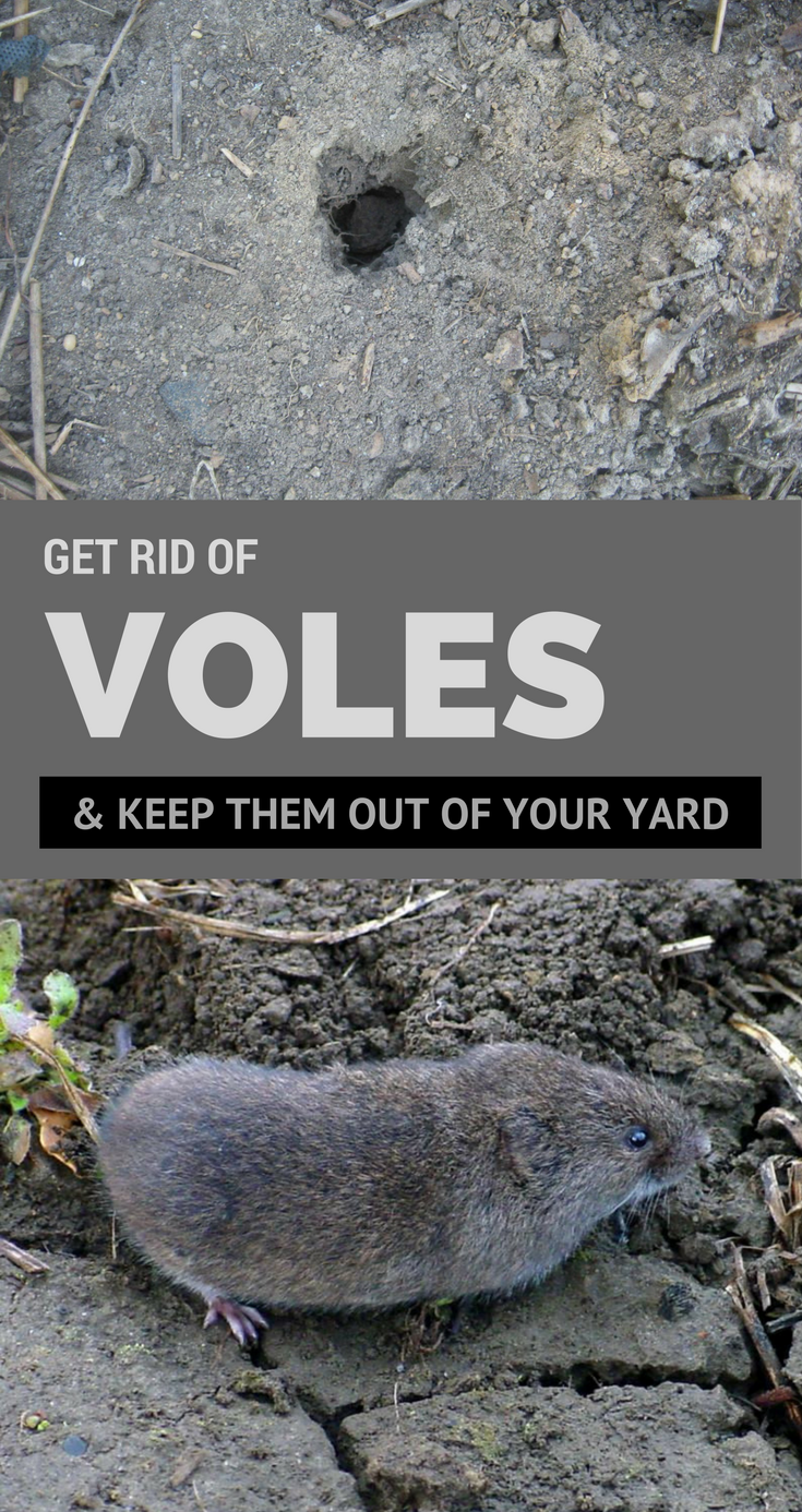 Get Rid Of Voles & Keep Them Out Of Your Yard