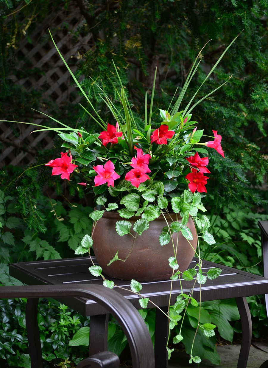Rio Dipladenia Red Blooms With Plectranthus And Dracaena