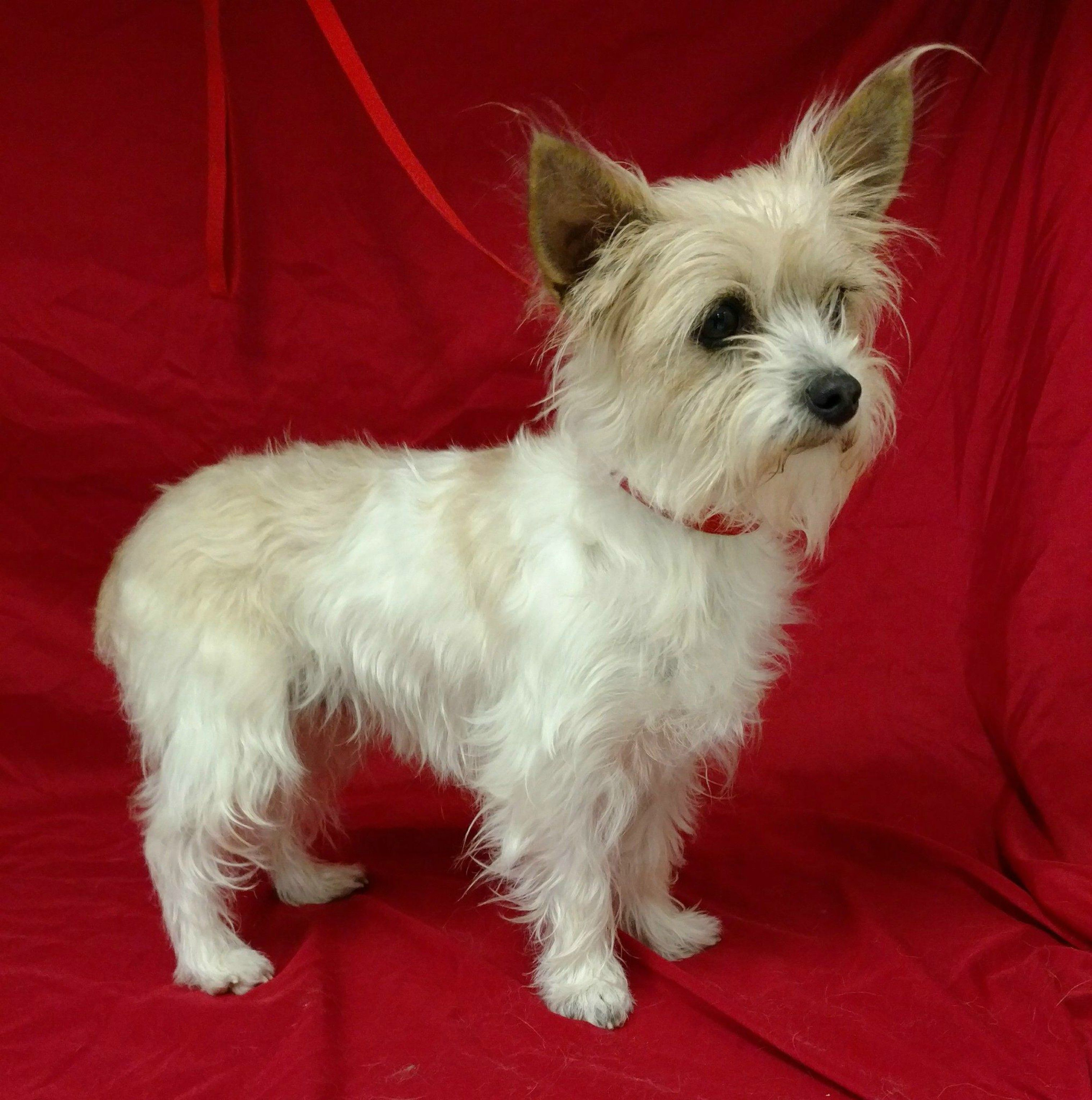 Pin By Record Searchlight Redding Com On Record Searchlight Pets Yorkshire Terrier Terrier Yorkshire Terrier Dog