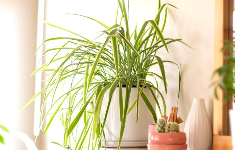 7 Rmended Houseplants For Low Light Conditions In 2020 Dog Friendly Plants Houseplants Indoor Plants Pet Friendly