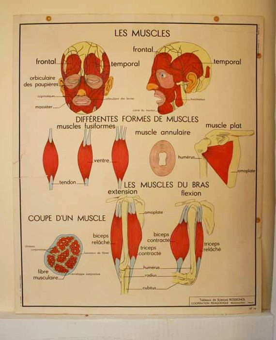 Two French Vintage School Anatomy Posters Offer
