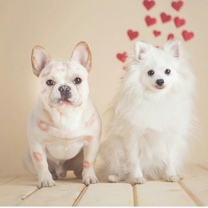 French Bulldog Pomeranian Mix Breed Called Goldenacresdogscom