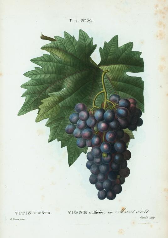 Vitis Vinifera Ny Public Library Digital Collections Botanical Painting Botanical Illustration Vintage Botanical Drawings