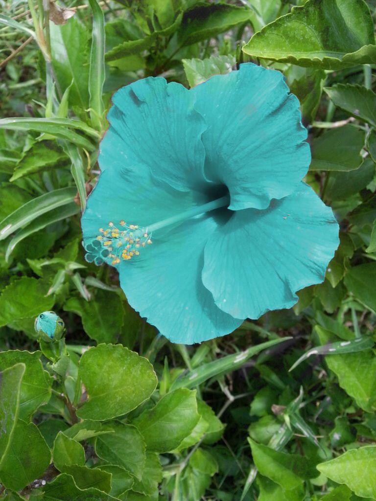 Blue hawaiian flower photog n travel pinterest blue hawaiian blue hawaiian flower izmirmasajfo