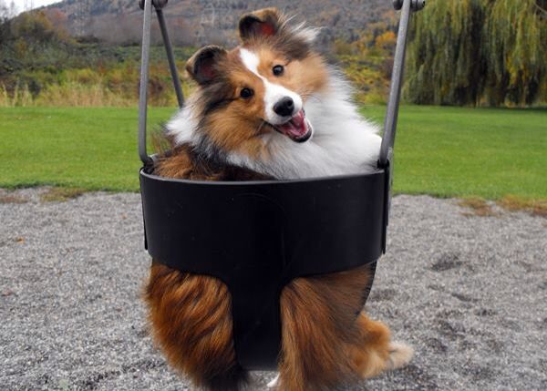 swinger very happy sable sheltie awesome animals pinterest