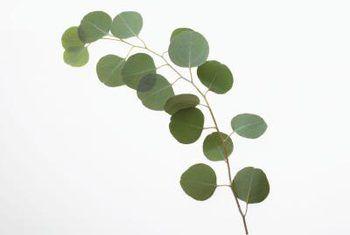 15x Eucalyptus Huis : How to care for a eucalyptus silver dollar plant house plants