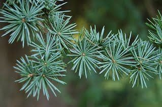 Successfully Propagating Cedar Species from Seed