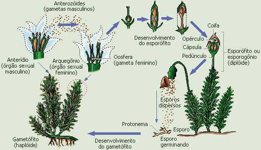 Briofitas - Só Biologia ::.