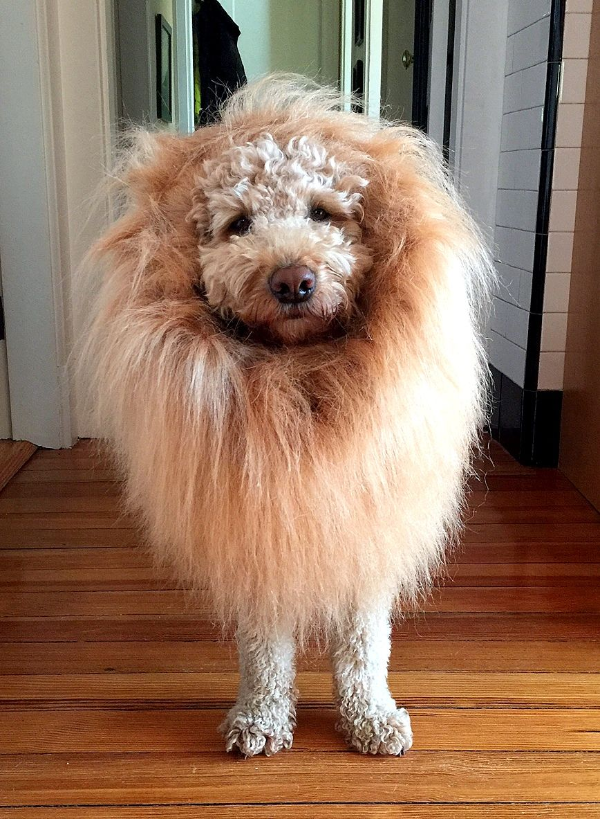 A Mini Lion Puppy Costume For Goldendoodle