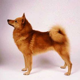 Getting To Know The Finnish Spitz Suomen Pystykorva
