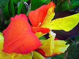 Las Flores Mas Lindas Del Mundo Canna India Imágenes De Flores Hermosas Flores Mas Lindas Imágenes De Flores