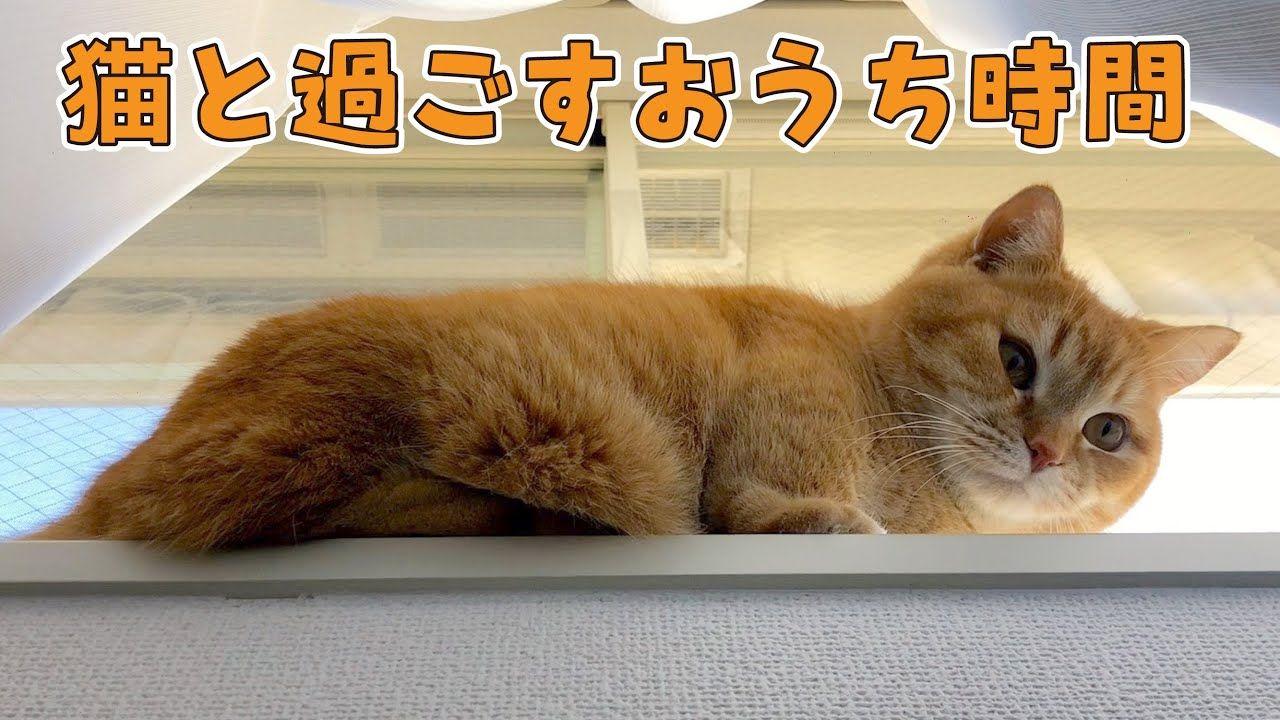 短足マンチカンと過ごすおうち時間に癒される Youtube マンチカン 猫 短足