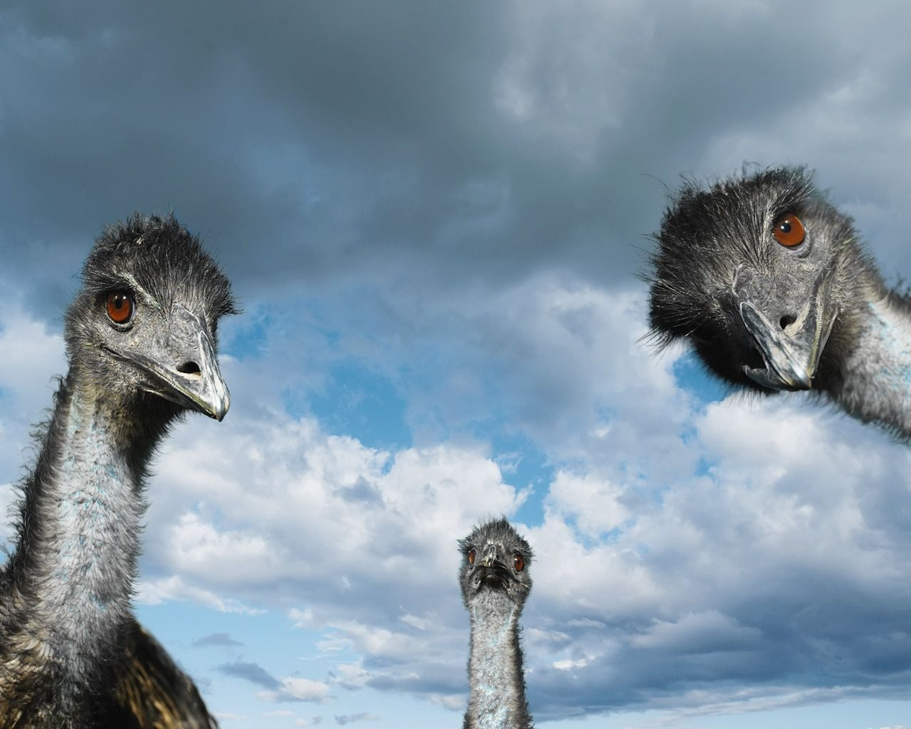 Ostrich Bird Nature Landscape HD POSTER