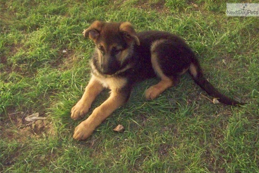 German Shepherd Puppy For Sale Near Tucson Arizona 949f4ee9