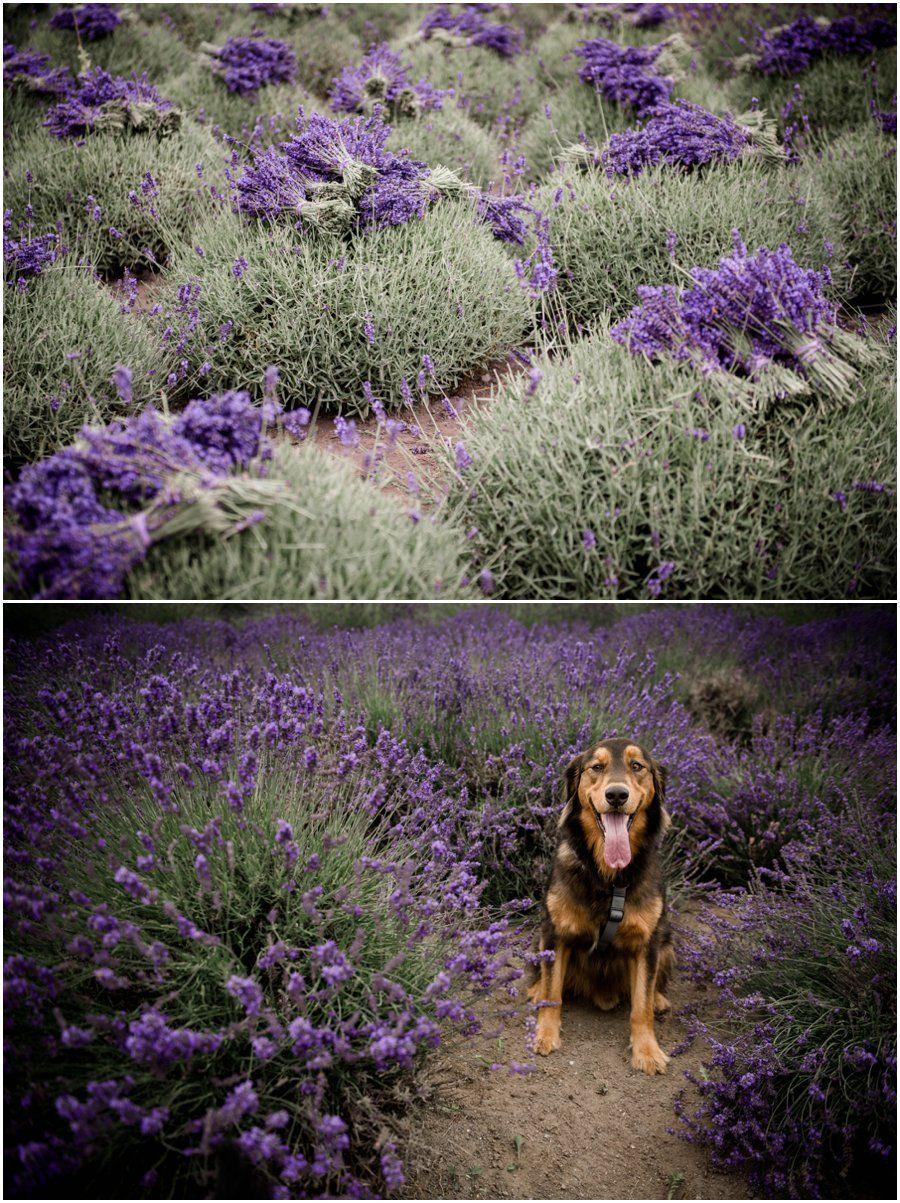 Jardin Du Soleil Lavend Lavender Farm | Seattle | Sequim