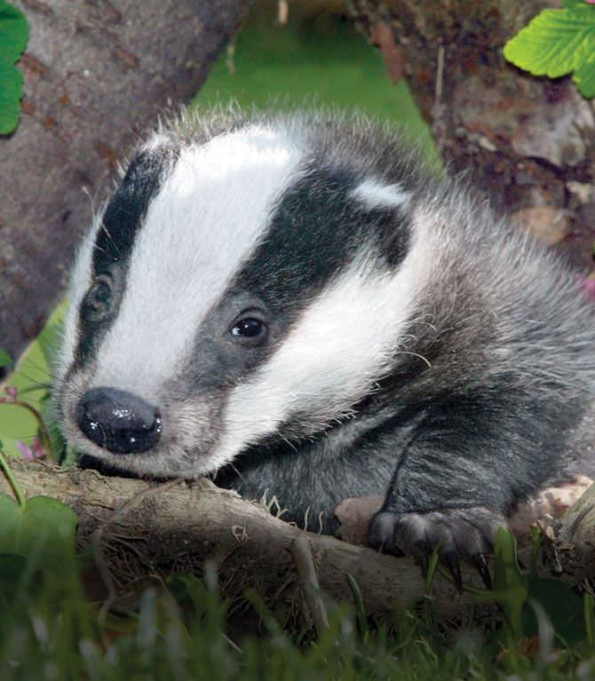 Badgers! #cute #animals