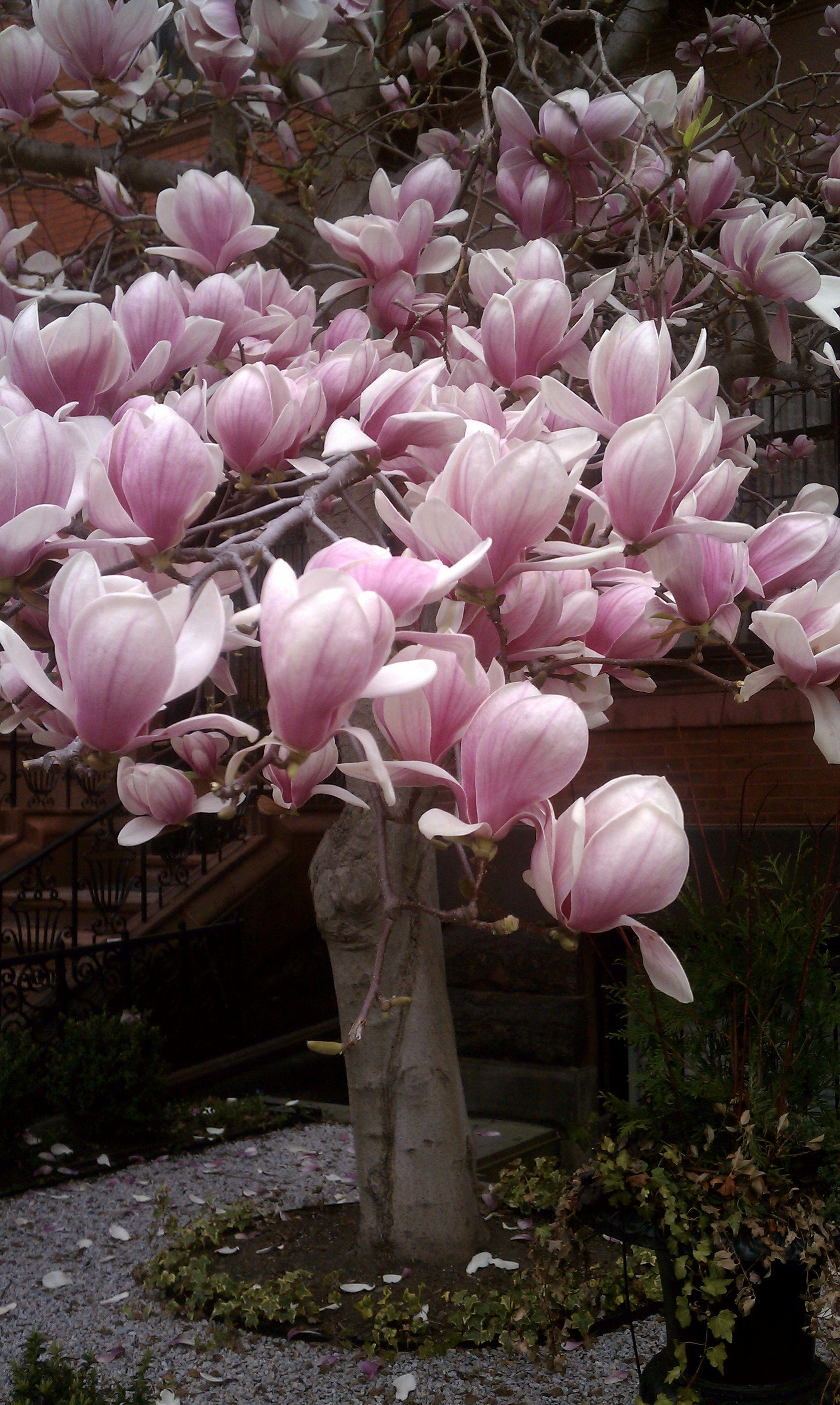 Magnolia Blossoms Up Close White Magnolia Tree Trees To Plant Magnolia Trees