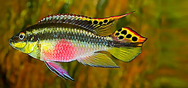 Kribensis Pelvicachromis Pulcher Fish Tank Aquascape Fresh Water Tank