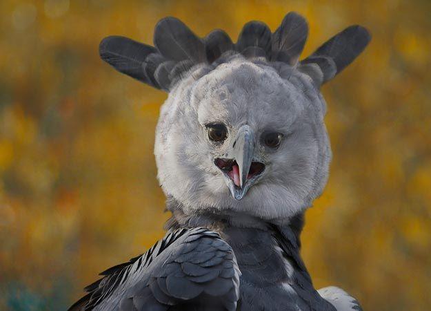 Image result for harpy eagle funny