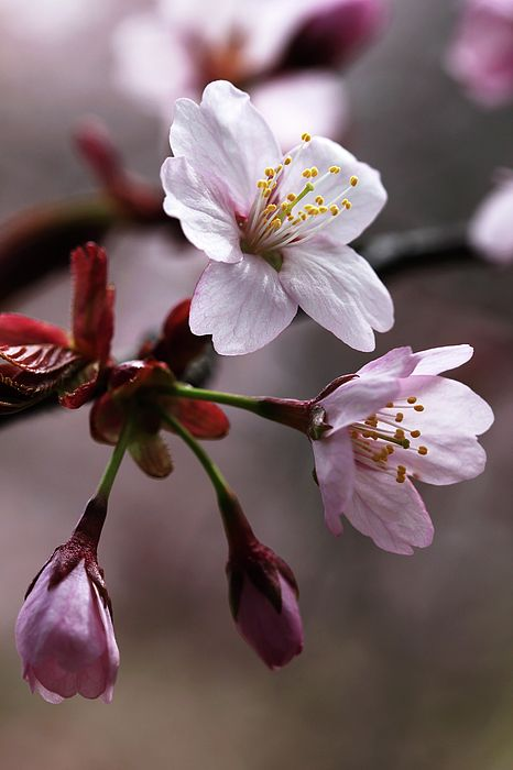 Cherry Blossoms By Debbie Oppermann In 2020 Pretty Flowers Beautiful Flowers Wallpapers Cherry Blooms