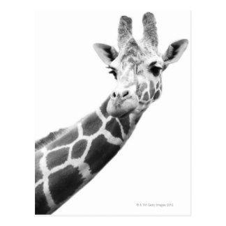 Portrait Noir Et Blanc D Une Girafe Cartes Postales Art De Girafe Portrait Noir Et Blanc Noir Et Blanc