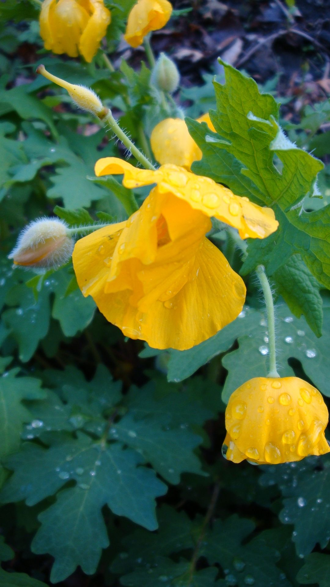 Celandine Poppy Like Everything About It Leaves Flowers And