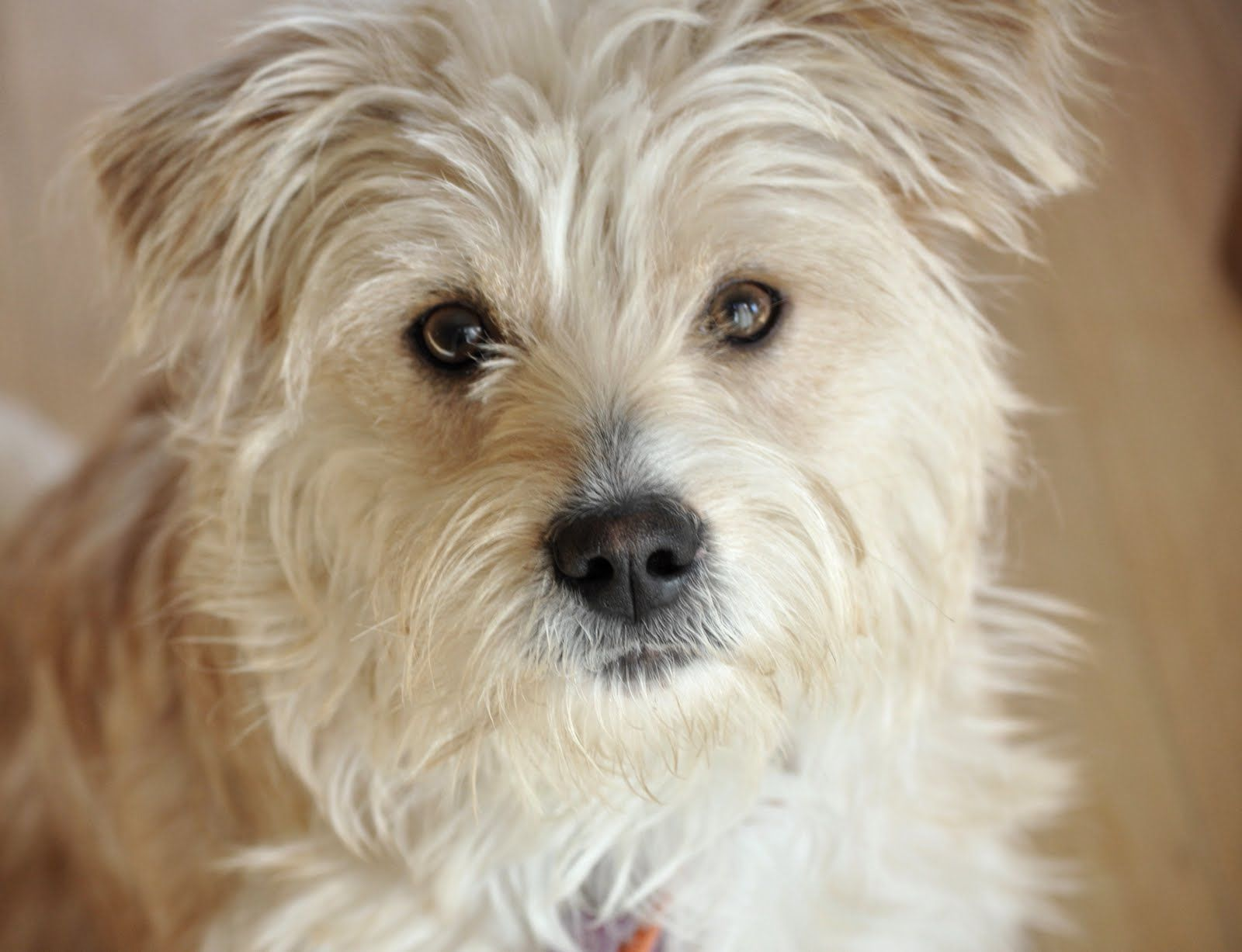 Small Fluffy Dog Breeds | Cricket's Fluffy Foster Friends: ?WHEATABLE?