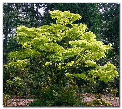 Acer Shirasawanum Aureum Golden Full Moon Maple Garden Acer