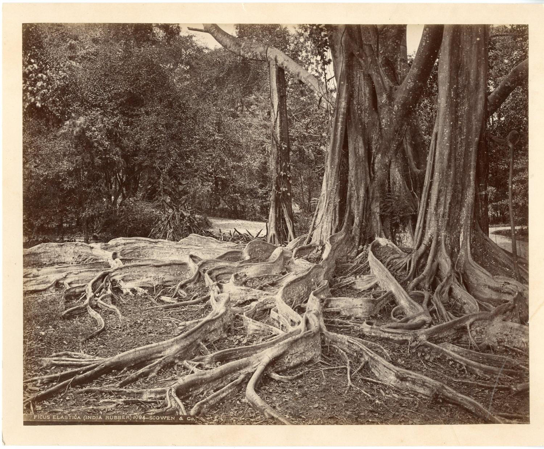 Scowen. Ceylan, Ficus elastica     #Asie_Asia #Ceylan_Ceylon