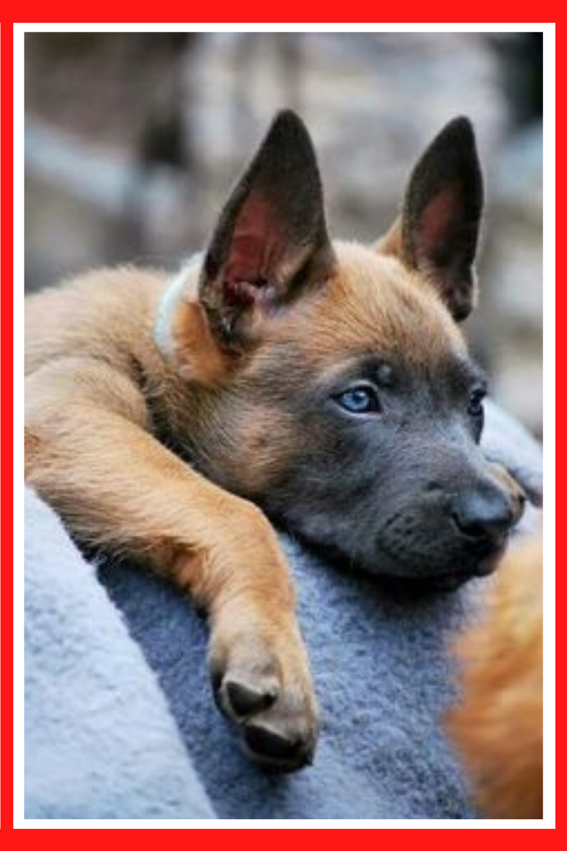 Berger Malinois Comment Rendre Propre Un Chiot De Berger Belge Malinois In 2020 Dogs Malinois Animals