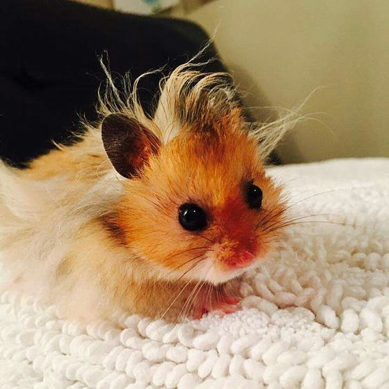 Baby hamster has a bad hair day. LoL