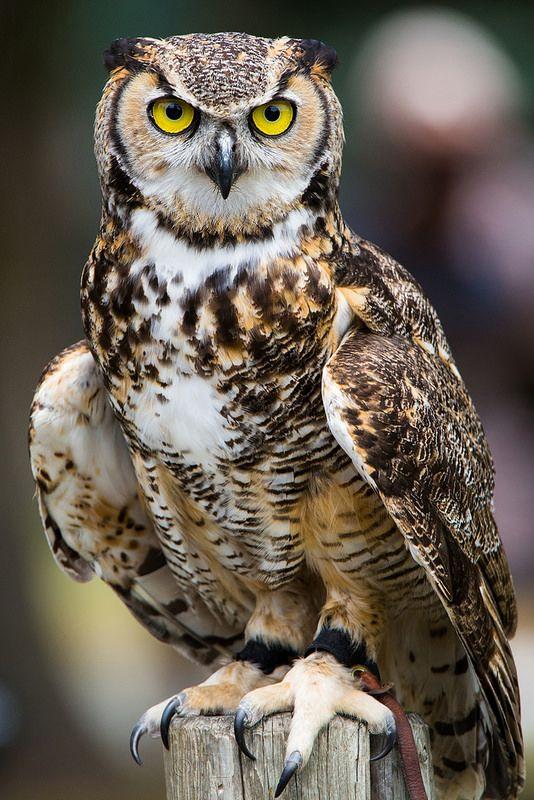 Great Horned Owl Portrait Beautiful Creatures Pinterest Owl