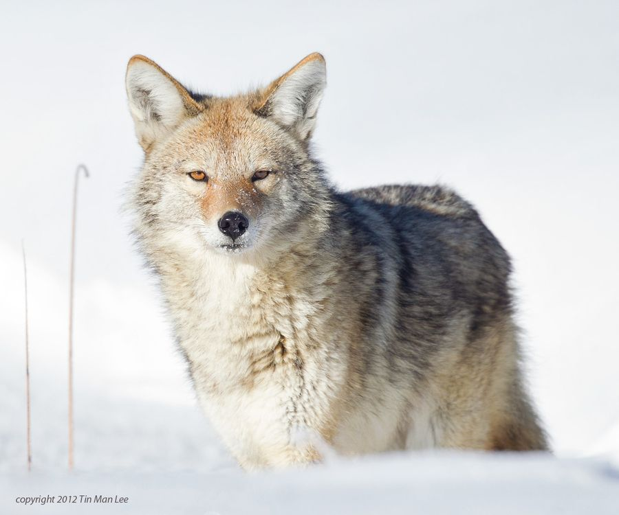 Coyote Glance (coyote Canis latrans) photo by Tin Man