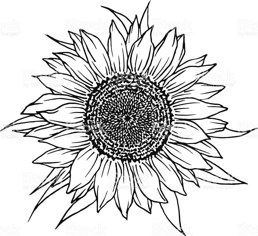 Image result for sunflower illustration