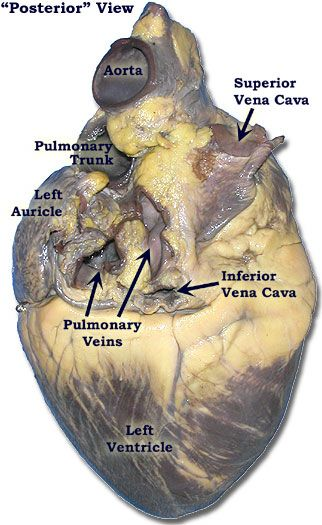 Fetal Heart Diagram Ba Falcon Wiring Stereo Photo Of Another Pig Heart-posterior View | Anatomy & Physiology Pinterest