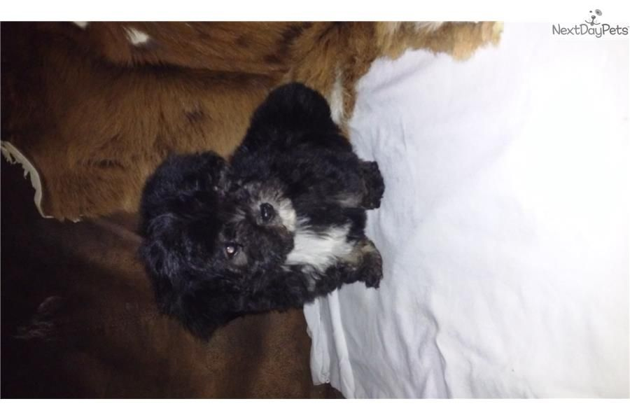 Malti Poo Maltipoo Puppy For Sale Near Tyler East Tx Texas