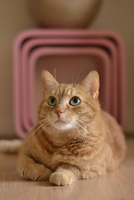 Female Ginger Cat Kittens Cats And Kittens Beautiful Cats