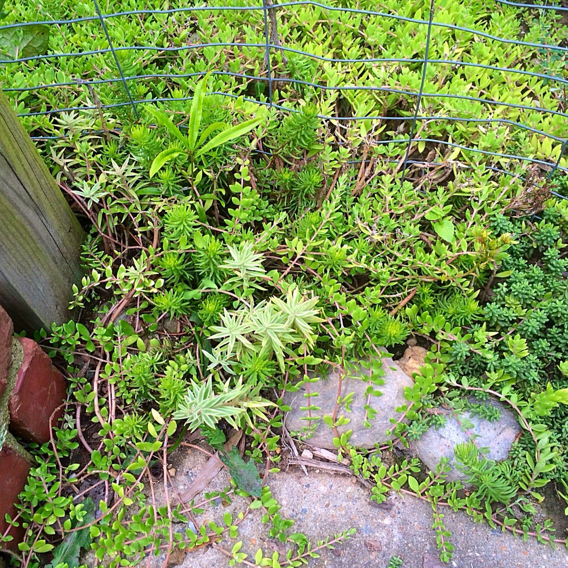 Succulent ground cover zone 7a gardening