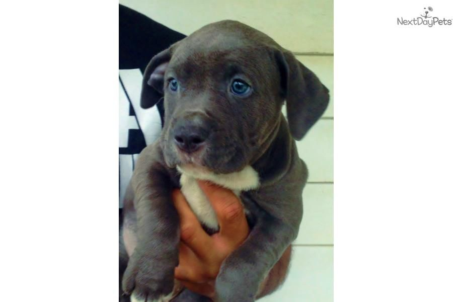 You Ll Love This Female American Bully Puppy Looking For A New