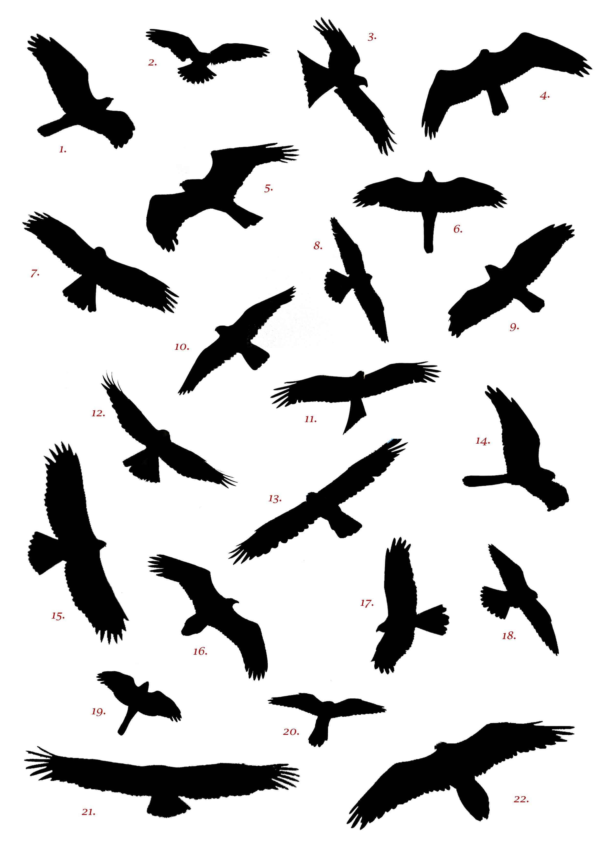 Spanish Raptor Silhouette Competition Birding In Spain Blog