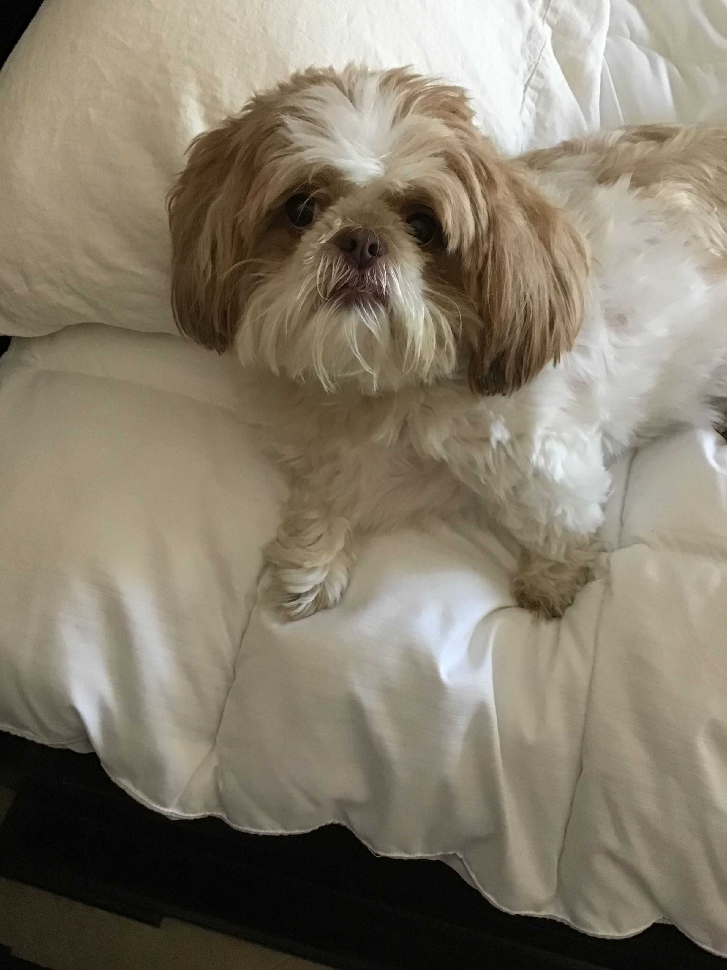 Pin By Mb On Shih Tzu Starring Holly Cute Animal Pictures Dog
