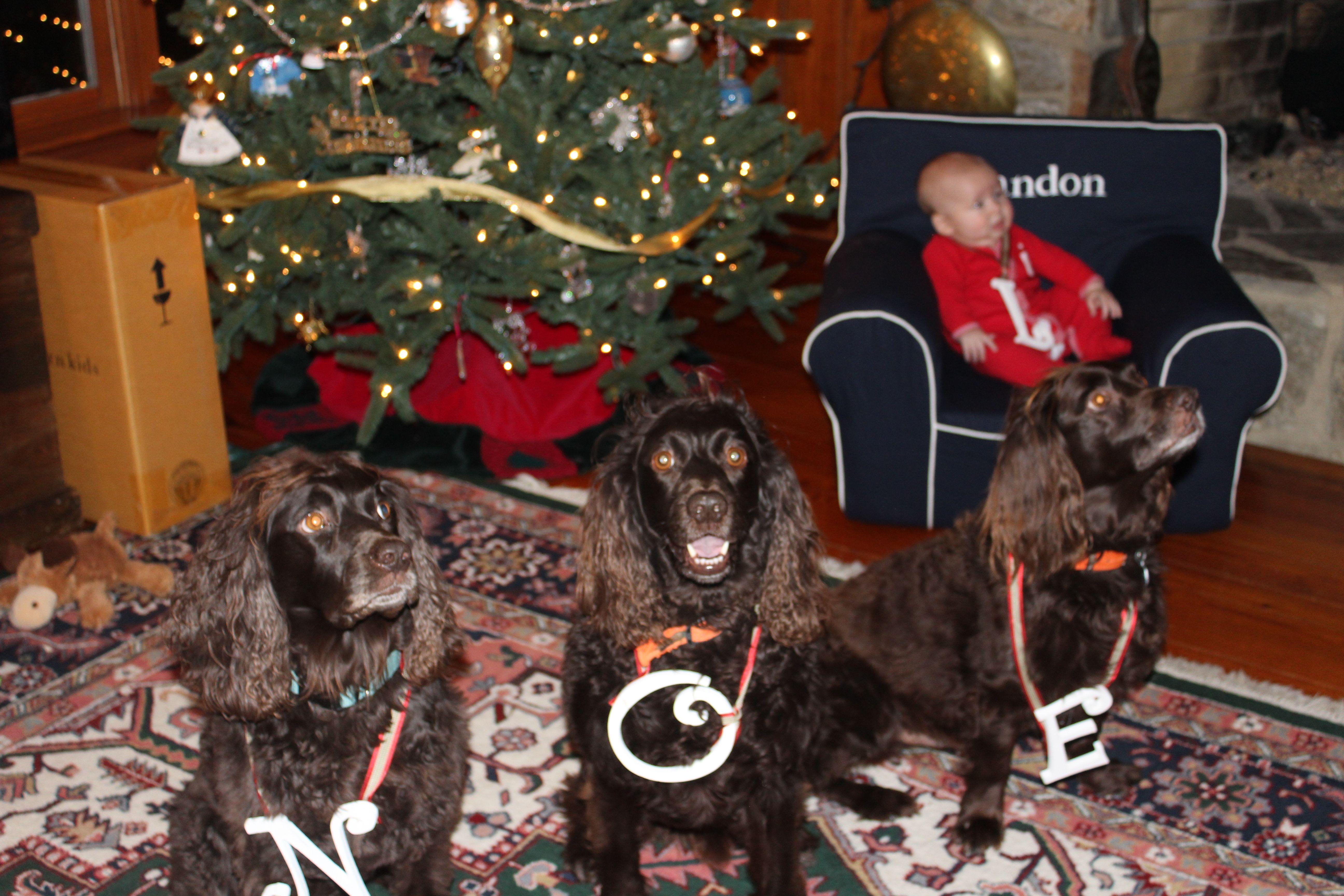 Boykin Spaniel Puppies For Sale In Greenville Sc