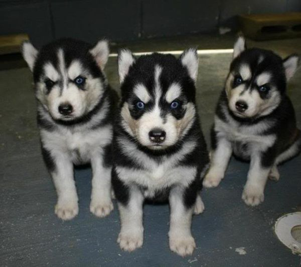 What S Better That One Adorable Angry Puppy How About Three Of
