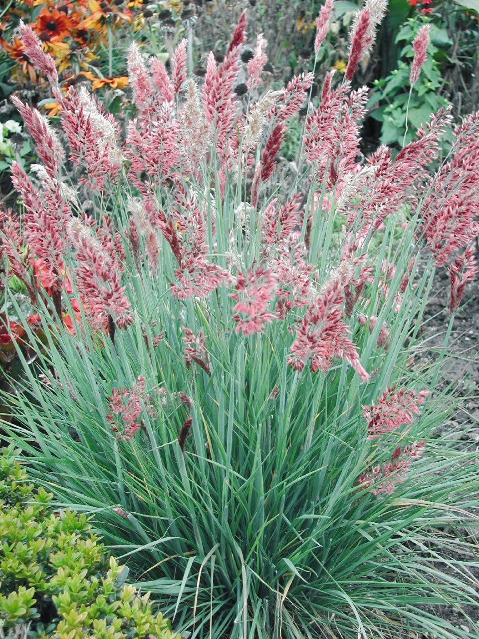 Ruby Grass Small Showy Grass With Narrow Silky Ruby Pink Blooms