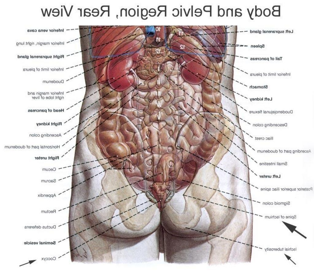 Human Body Organs Diagram From The Back Bodies Body Organs